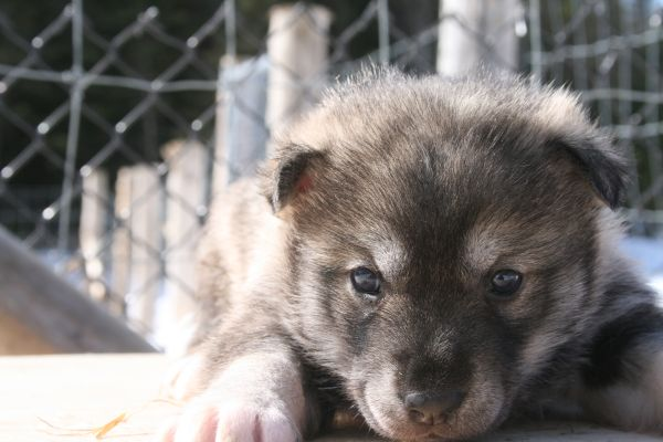 Visite du chenil des chiens de tra neau kanatha aki etangs tremblant - Image bebe chien ...