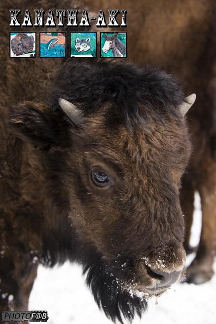 Visite des bisons en hiver