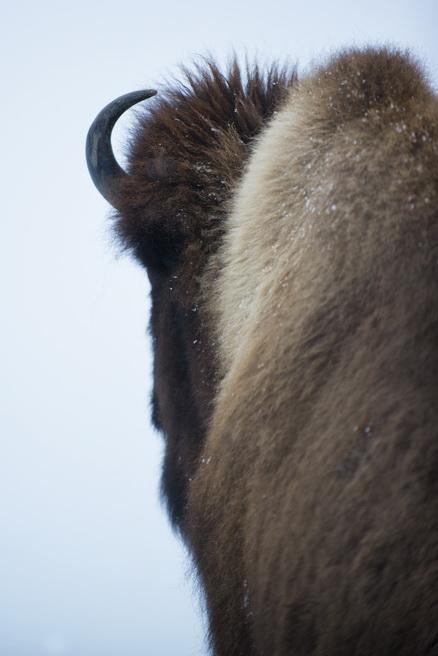 Le bison et les Amériendiens