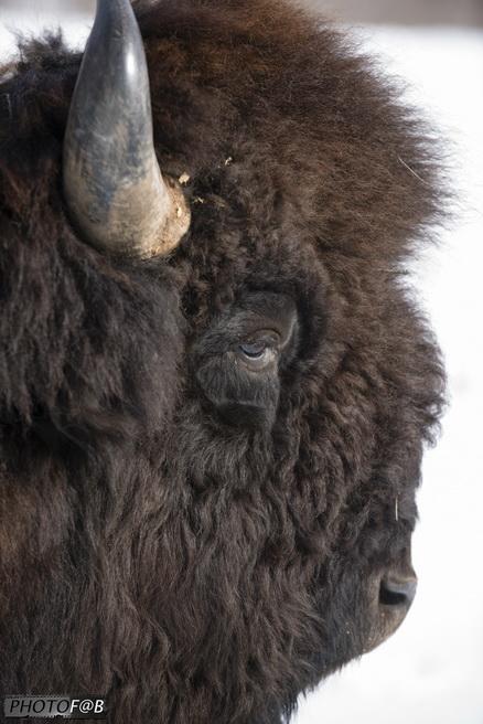 Visite des bisons