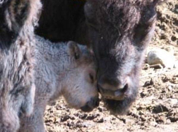 Bébé bison blanc né au Québec
