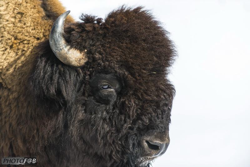 Bisonne et son bisonneau