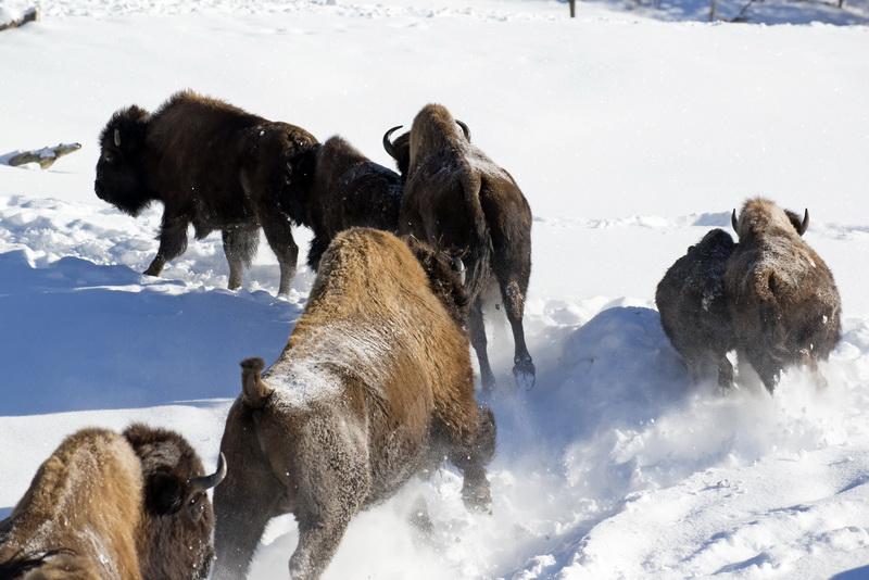 bisons des bois au Québec