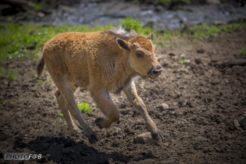 Cheptel de bison dans les Laurentides