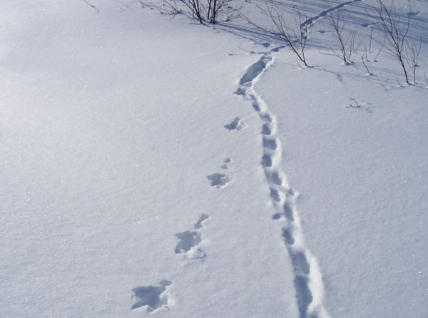Piste d'animaux sauvages