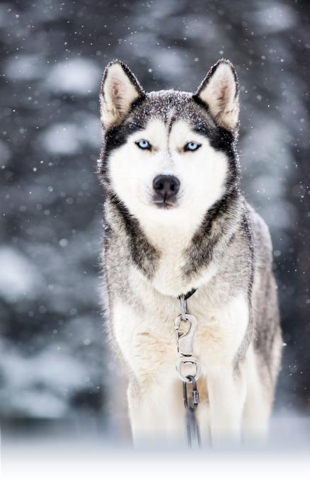 Chien de traineau Husky d'Alaska