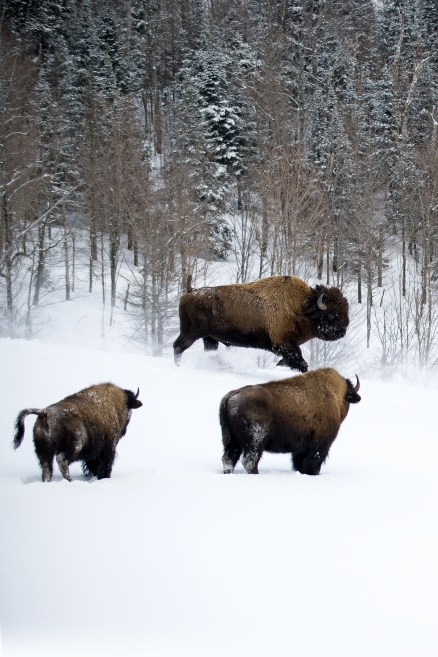 Troupeau de bisons dans les montagnes des Laurentides