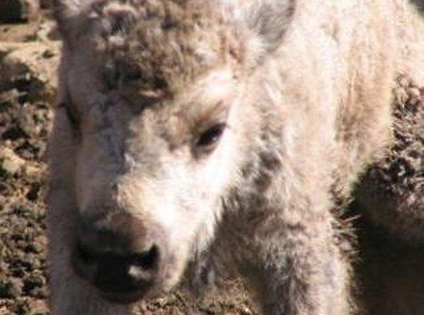 Naissance du bébé bison blanc