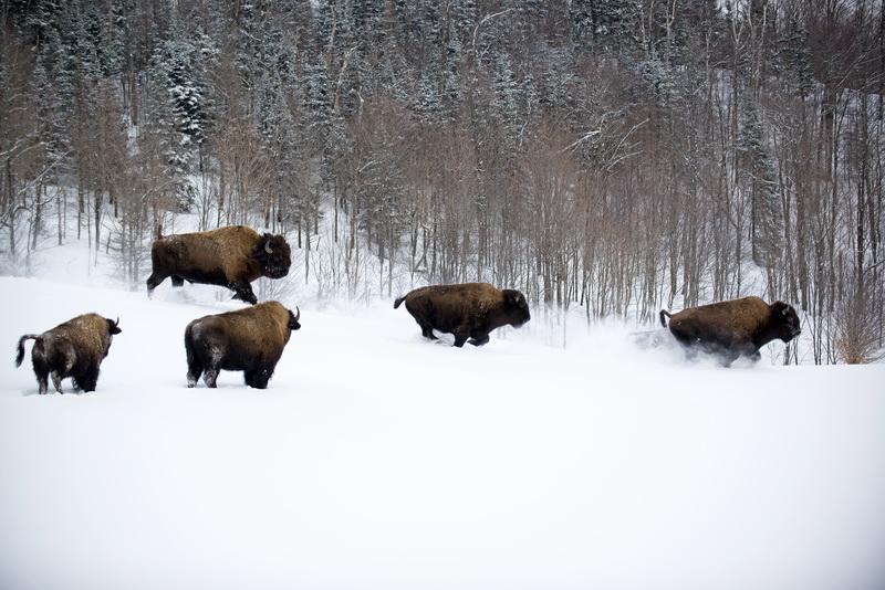 Découvrir les bisons des bois