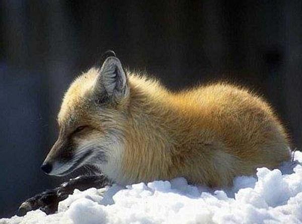 Un renard en ballade