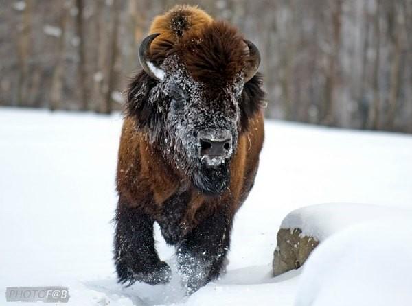 Réserve de bisons proche de Montréal
