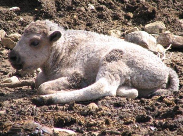 Prophétie bison blanc