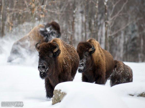 Réserve de bisons